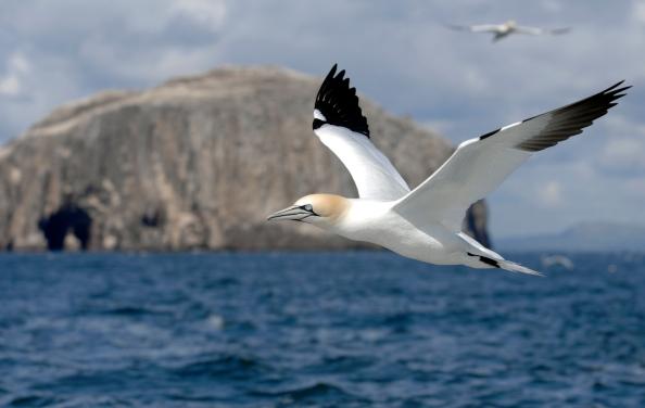 A gannet mid-flight
